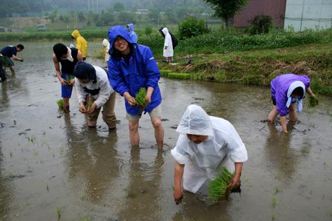 Taue (Rice Planting): Planting Yamada Nishiki in Rural Kyoto Prefecture for Next Year's Sake