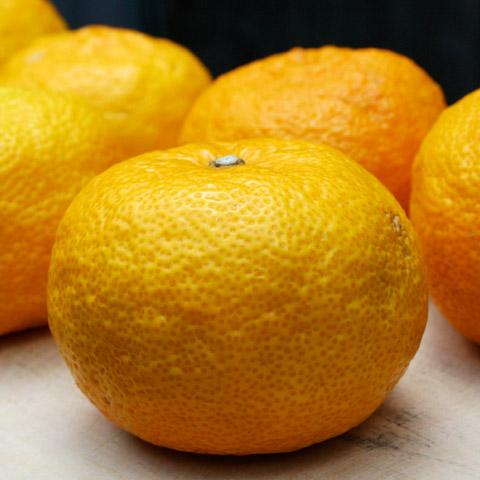 Yuzushu: Japanese Citrus Yuzu Liqueur – Kyoto Foodie ...