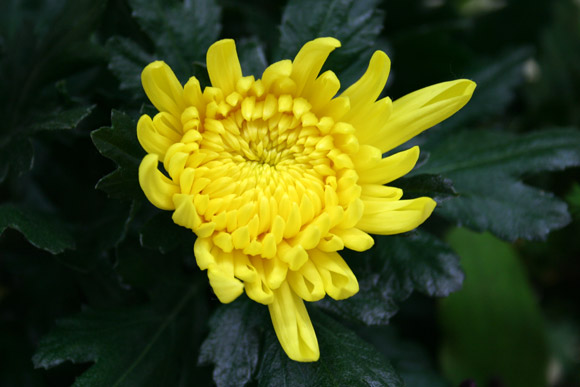 Kiku Kabura Tsukemono (Chrysanthemum Turnip) 菊かぶら